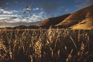 campo di grano marrone