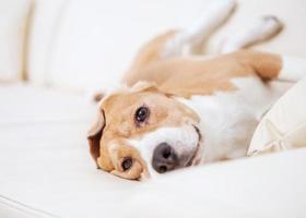 cane beagle di razza pura sul divano nella camera d'albergo di lusso foto