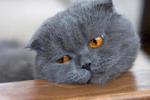 gatto piega scozzese foto