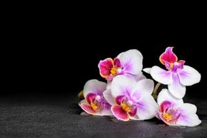 bellissima orchidea viola phalaenopsis su sfondo nero con dr