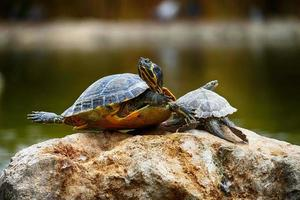 tartarughe su una roccia