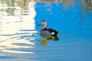 anatra, uccello, natura, animale, selvaggio, fauna, acqua, lago foto