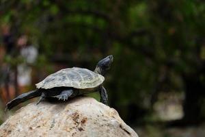 tartaruga su una roccia