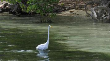 Airone bianco maggiore in acqua