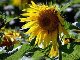 girasole sotto il sole splendente foto