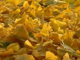 primo piano delle foglie gialle del ginkgo