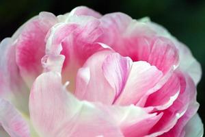 primo piano di una peonia rosa foto