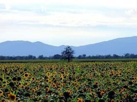 campo di girasole e montagne