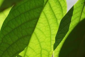 foglie di mango verde fresco