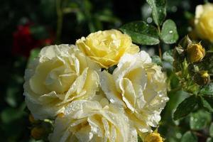 rose gialle in giardino foto