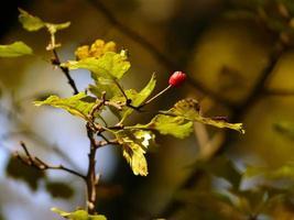 bacca rossa sul ramo