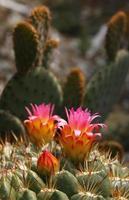 primo piano di fiori di cactus foto