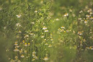 fiori di camomilla in un campo foto