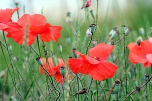 primo piano di fiori di papavero rosso foto