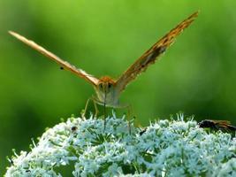 primo piano della farfalla sul fiore bianco foto