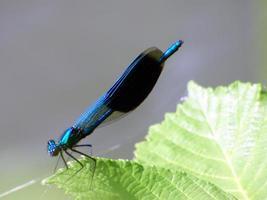 primo piano di una libellula blu