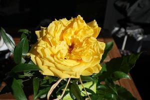 rosa gialla in giardino foto
