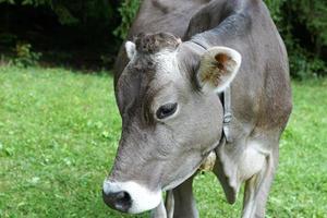 mucca al pascolo nelle alpi foto