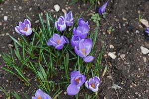 fiori di croco viola foto