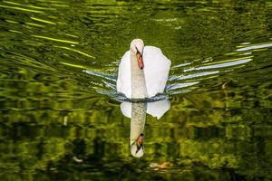 cigno che nuota nell'acqua del lago