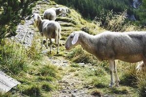 escursionismo pecore di montagna