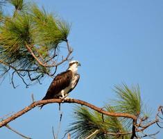 falco pescatore su un albero foto