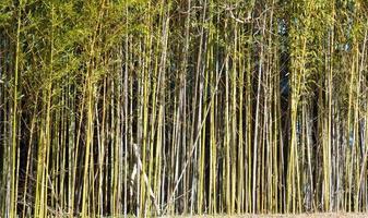 sfondo di alberi di bambù foto