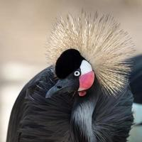 gru coronata grigia foto
