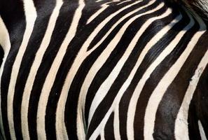 primo piano di strisce di zebra foto