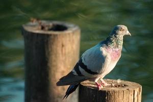 piccione in piedi sul tronco di legno