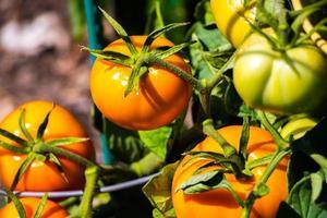 pomodori arancioni sulla vite foto