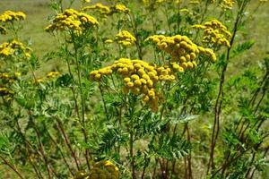 fiore giallo tanaceto foto