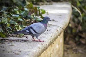 piccione su cemento