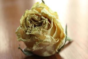 primo piano di una rosa appassita