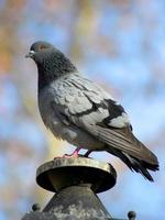 primo piano di un piccione su una lampada