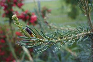 ramo di pino con gocce d'acqua