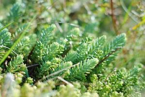 piccole piante di sedum in giornata di sole