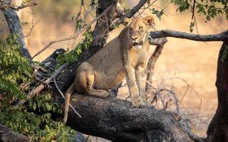 leonessa sul ramo di un albero