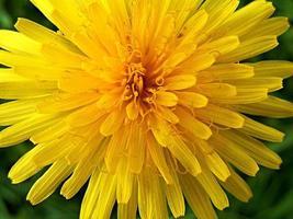 primo piano di un fiore di tarassaco