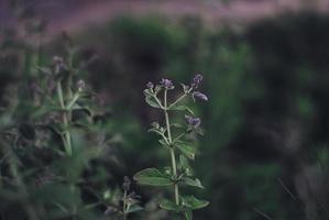 fiore di menta al tramonto