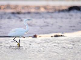Airone bianco maggiore che cammina su una spiaggia a Cape Town