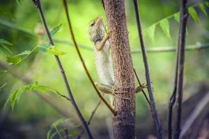 camaleonte sul ramo