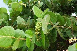 foglie e frutti di seagrape