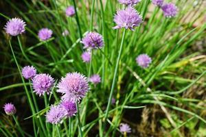 porri viola in giardino foto