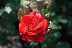 rosa rossa con gocce d'acqua foto