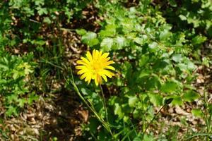 barbabietola in primavera foto