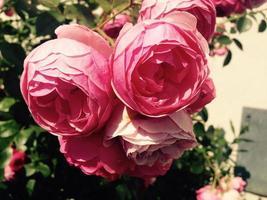rose rosa in giardino
