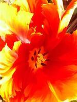 primo piano di un tulipano foto