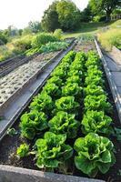 insalate in giardino