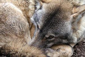 un lupo rannicchiato nella natura